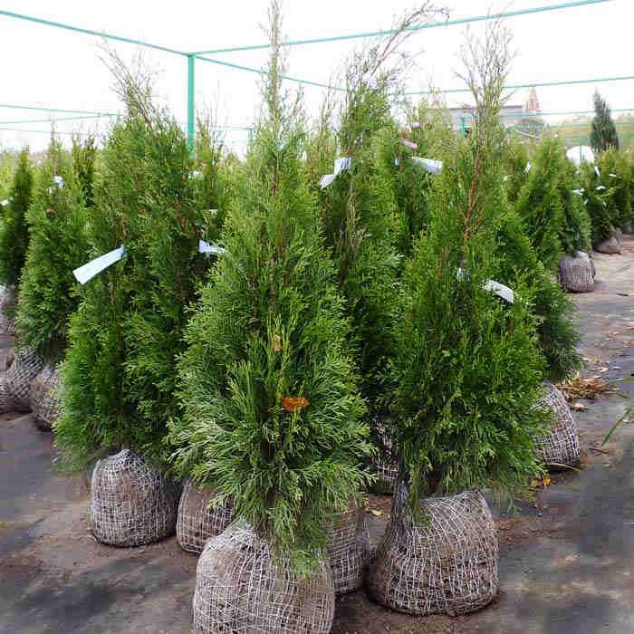 продажа саженцев деревьев